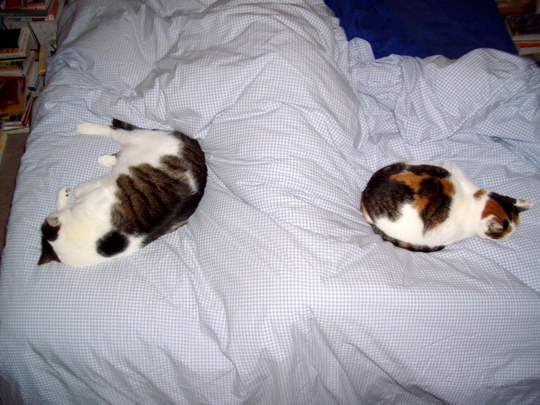 cats sprawled on a bed on either side of Becky's legs under the covers