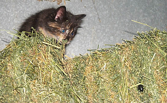 Maddie the kitten on a haybale, stalking a stinkbug.