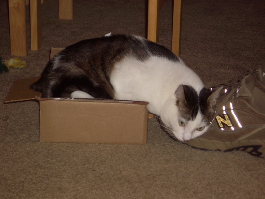 bigger cat in same small box