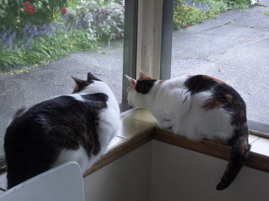 kitties on a window sill glaring at exterior usurper wannabe
