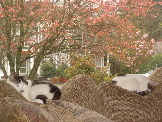cats curled on cushions ignoring flowering trees outside