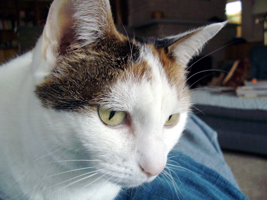 head shot of golden-eyed alice the calico cat