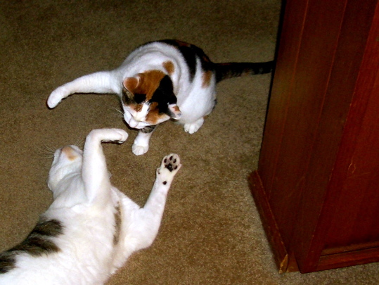 cats playing at fighting