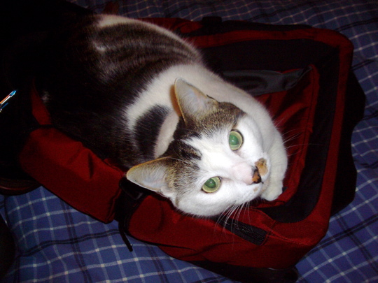 cat lying on a backpack