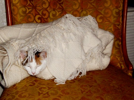 cat wrapped in a blanket with just her silly head showing