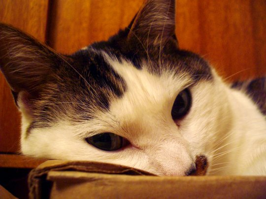 cat resting head on cardboard