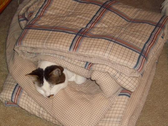 Cat sleeping in folds of a blanket
