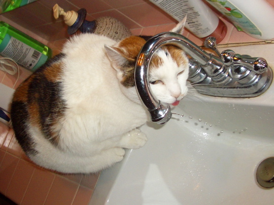Cat drinking from bathroom faucet