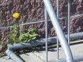 urban wildflower