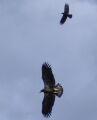 crow harrassing immature bald eagle