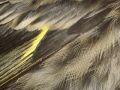 pine siskin wing detail