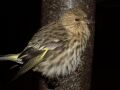 pine siskin on a thistle feeder