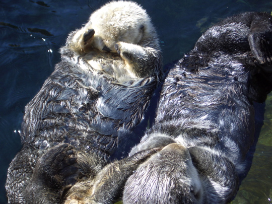 two sea otters basking in the sun