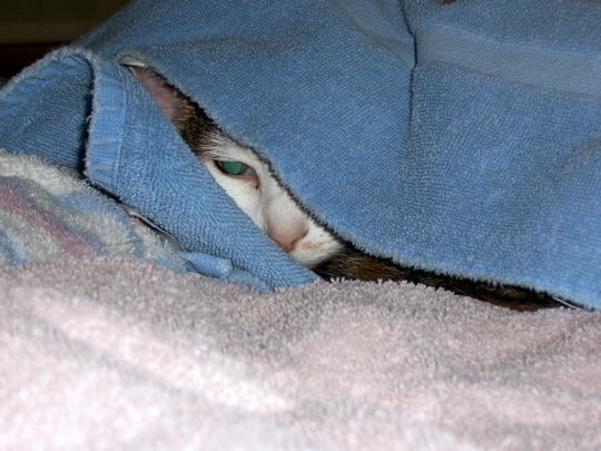 cat peeking out of laundry