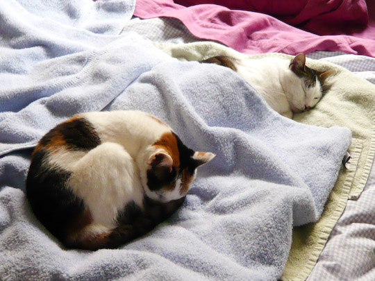 sleeping cats on laundered towels