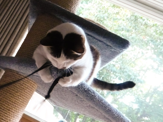 Cat on a carpeted shelf grabbing a ribbon