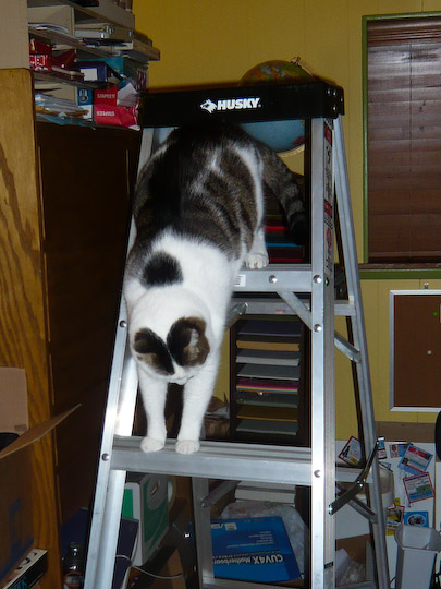cat attempting to go head-first down a ladder