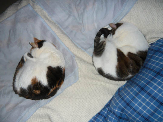 synchronized sleeping, feline division