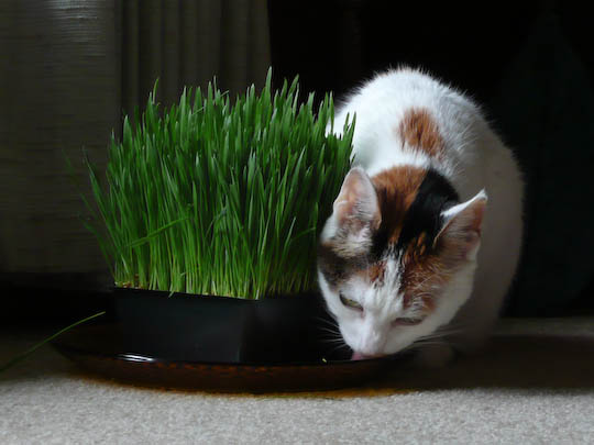 Cat drinking from a plate holding a pot of wheat grass