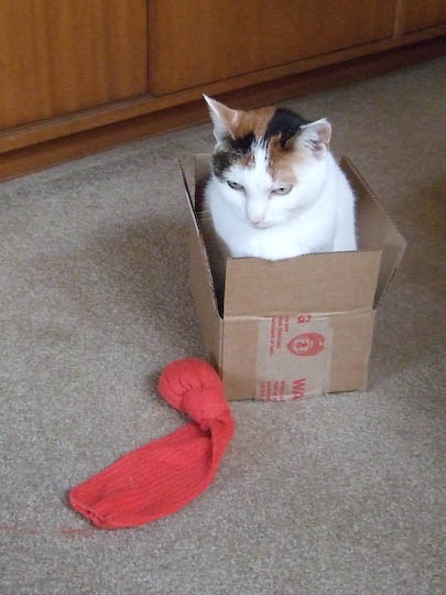 cat in small box next to sock toy