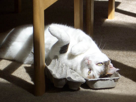 cat sprawled in egg carton in the sun
